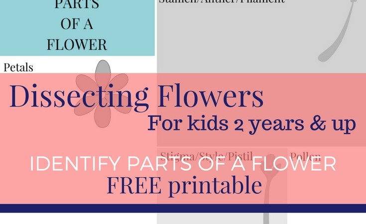 Dissecting Flowers for kids – Free printable!
